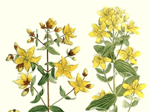St. John's Wort: A Balm for Anxiety